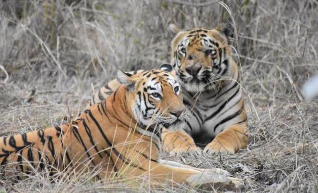maya tigress marathipizza 00