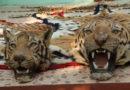२०१६ वर्षात ७६ वाघांची शिकार; Save Tigers अभियान ठरले फेल