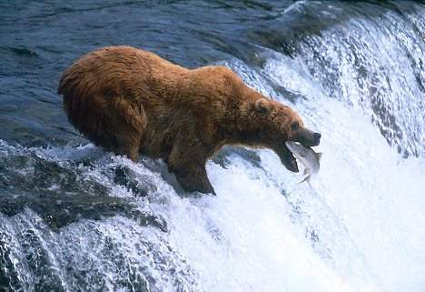 grizzly bear marathipizza