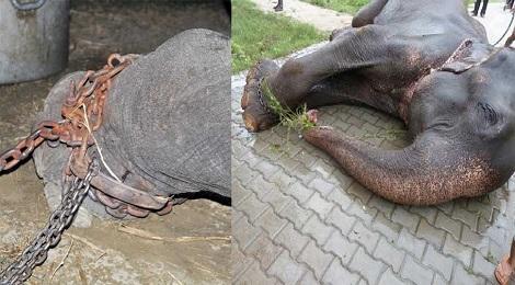 raju-elephant-marathipizza00