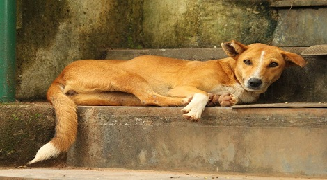 indian dog breed-inmarathi