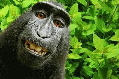 सेल्फी क्रेजी बंदर बनणार 'पर्सन ऑफ दि ईयर'?