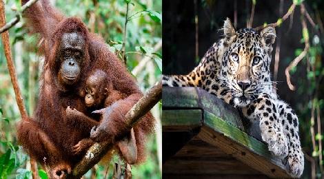 orangutan-inmarathi