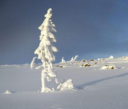 oldest-tree-old-tjikko-sweden-03