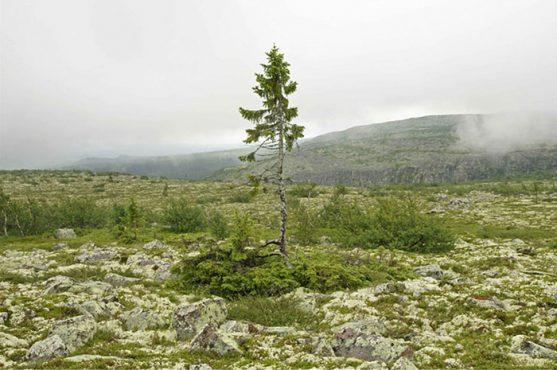 oldest-tree-old-tjikko-sweden-inmarathi01