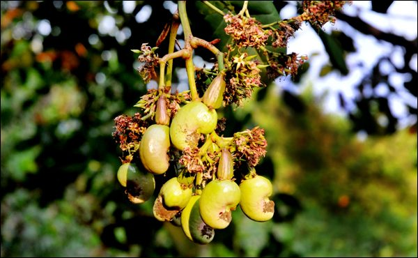 Cashew-Farming-inmarathi