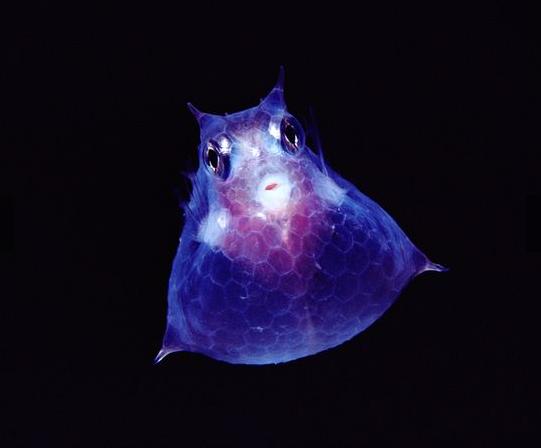 antarctica 01 Juvenile cowfish marathipizza