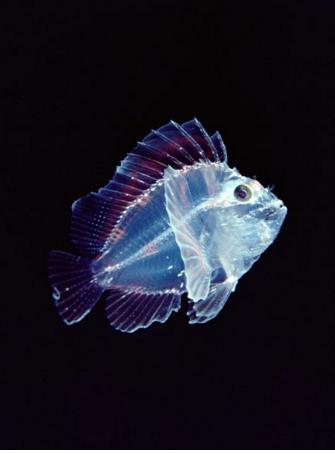 antarctica 10 Seethrough scorpion fish marathipizza
