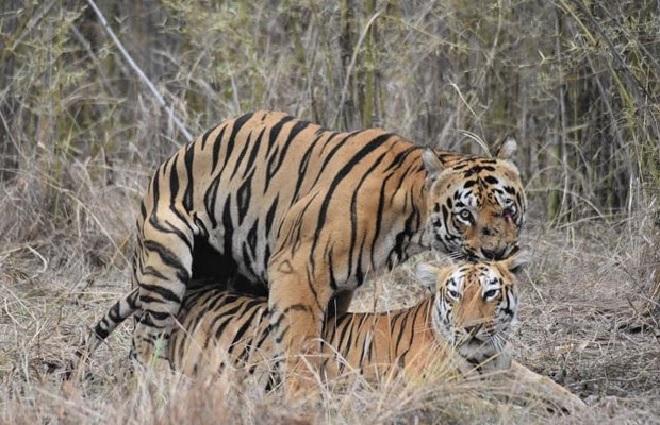maya-tigress-1-inmarathi