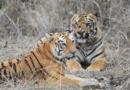 नरभक्षक वाघ – जंगलाच्या राजाच्या रंजक कथा – भाग १