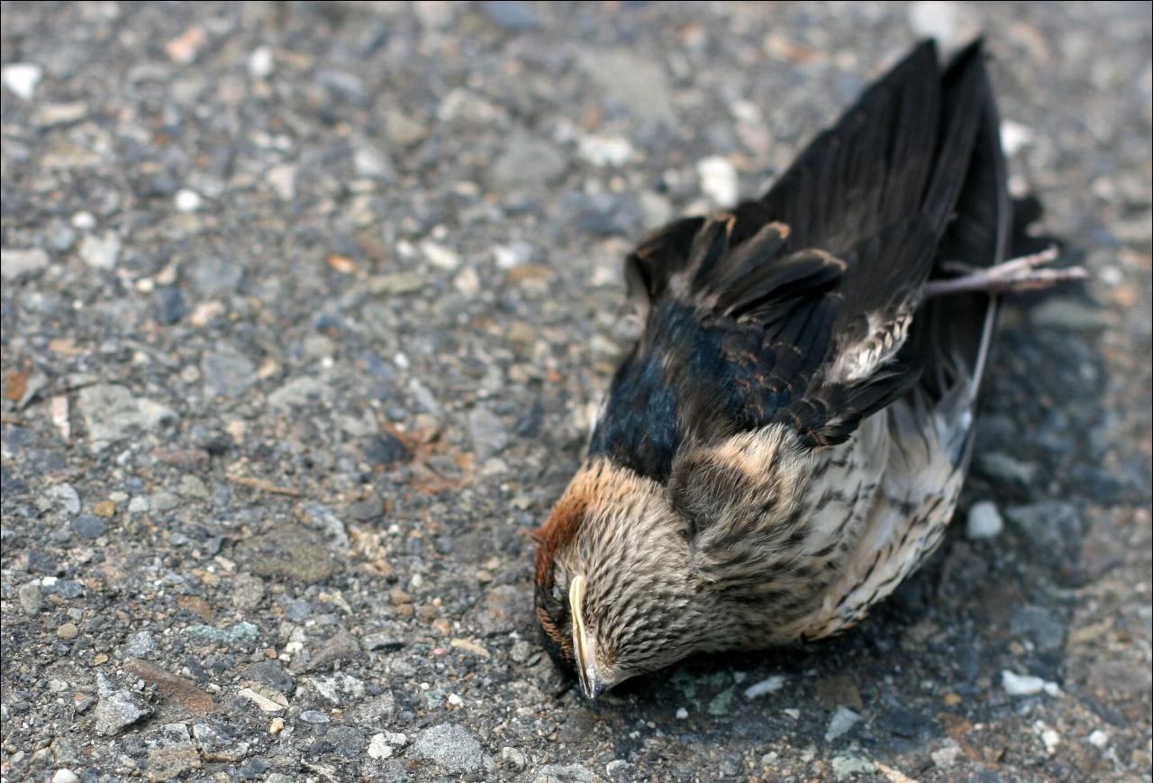 bird-sucide-jatinga-marathipizza03