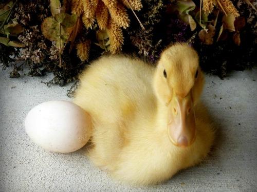 hatching-ducklings-marathipizza