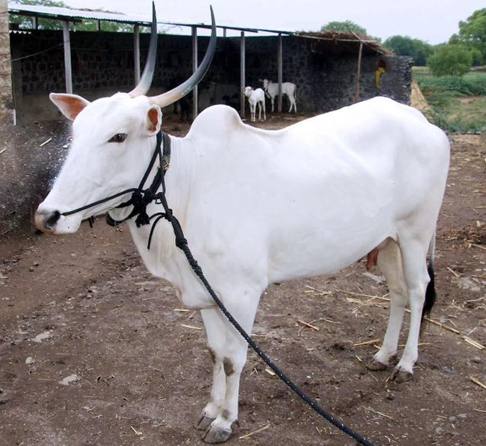 khillari-cow-marathipizza
