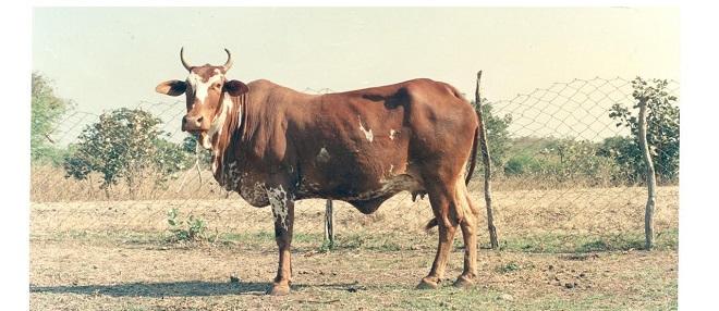 nimar-cow-marathipizza