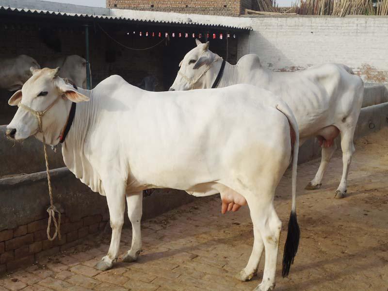 tharparkar-cow-marathipizza