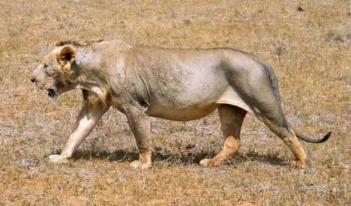 tsavo lion marathipizza