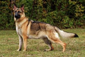 Dangerous dogs.marathipizza2