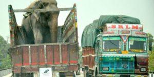 Raju elephant.mrathipizza2