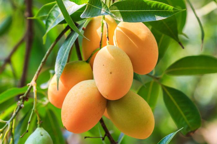 mango-marathipizza01