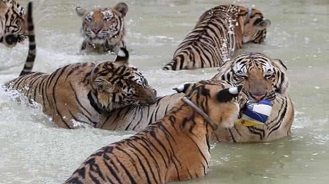 tiger temple05-marathipizza