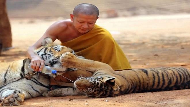 tiger temple06-marathipizza