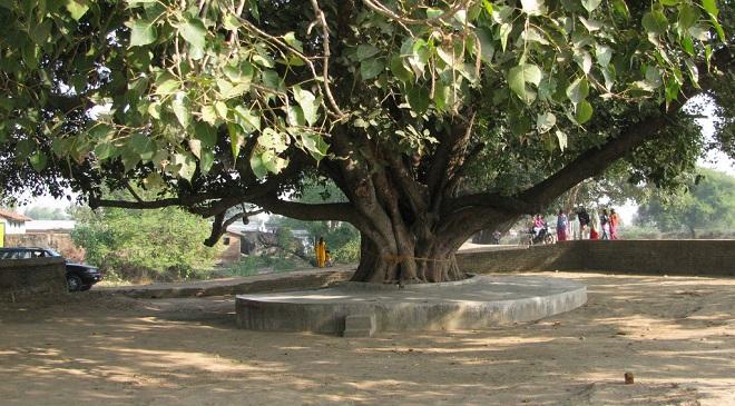 pipal tree-InMarathi