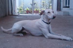 Chippiparai dog breed-inmarathi