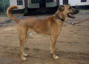 Combai dog breed-inmarathi