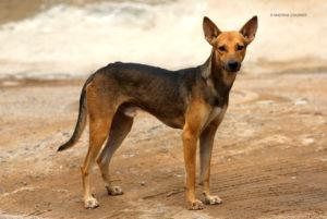 Indian Pariah dog breed-inmarathi