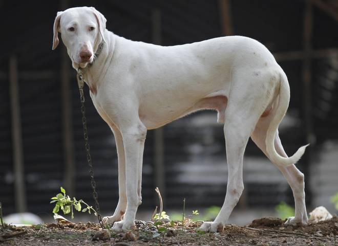 Rajapalayam dog breed-inmarathi
