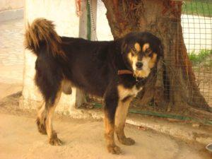 gaddi Kutta dog breed-inmarathi