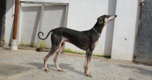 kanni dog breed-inmarathi