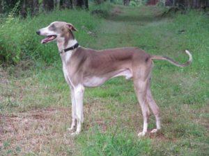 mudhol hounddog breed-inmarathi