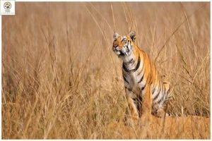 tadoba safari-inmarathi02