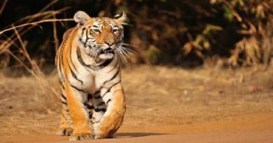 tadoba safari-inmarathi03
