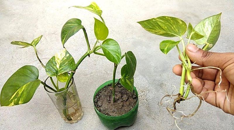 moneyplant inmarathi