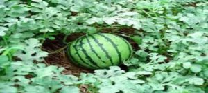 watermelone-war-inmarathi02