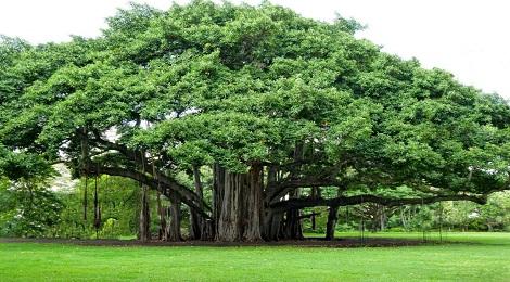 Banyan-tree-inmarathi
