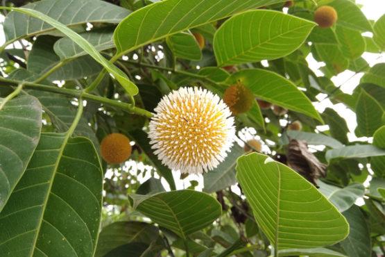 kadmba fruit inmarathi