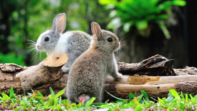rabbit inmarathi
