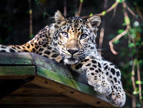 amur-leopard-inmarathi
