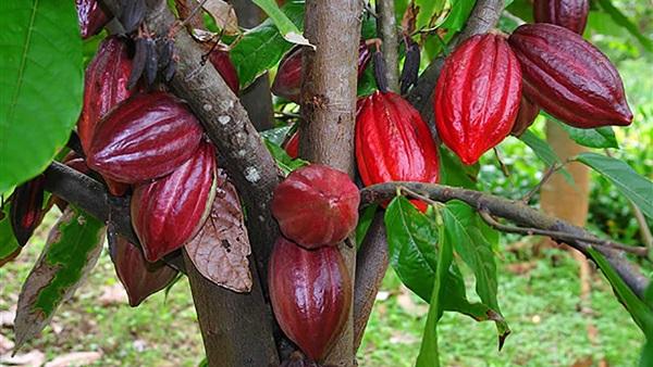 coco plant-inmarathi