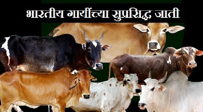 cow inmarathi