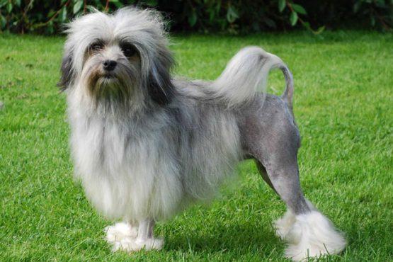 Lowchen-dog-inmarathi