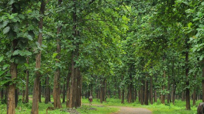 Teak-Farming-inmarathi