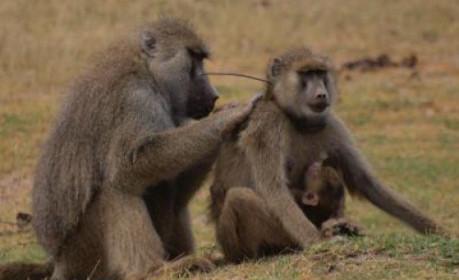 baboons-sex-inmarathi