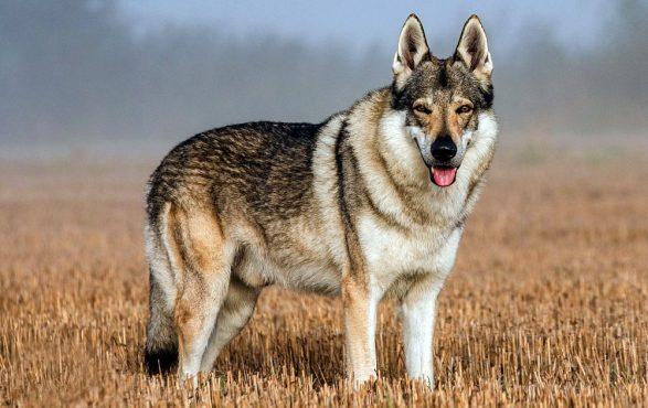 czechoslovakian-wolfdog-inmarathi