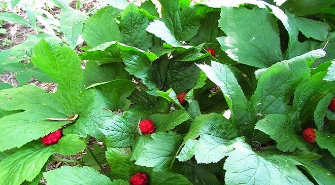goldenseal plant InMarathi