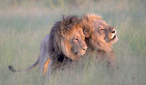 lion-sex-inmarathi