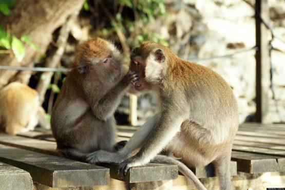 monkey-sex-inmarathi